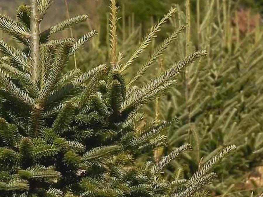recorrido árbol navideño