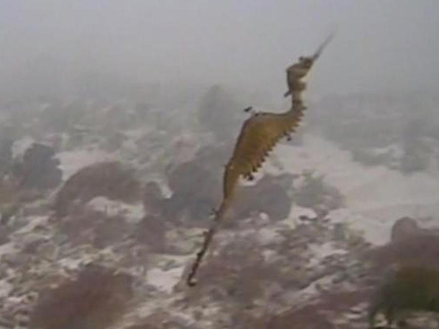 dragon de mar
