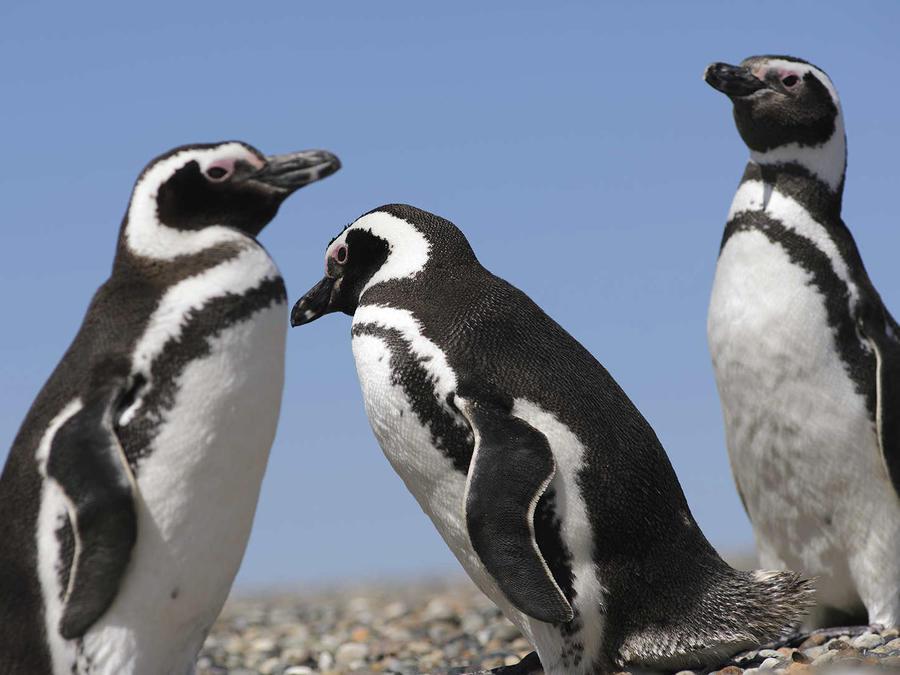 Más de un millón de pingüinos Magallanes llega a Punta Tumbo
