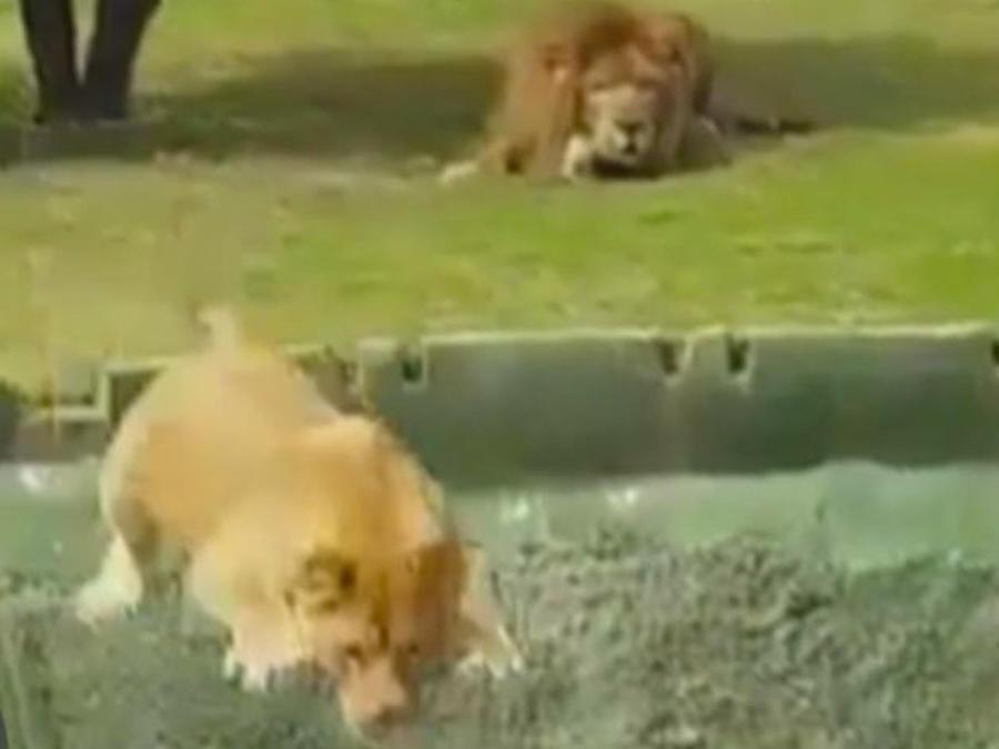 leona al acecho