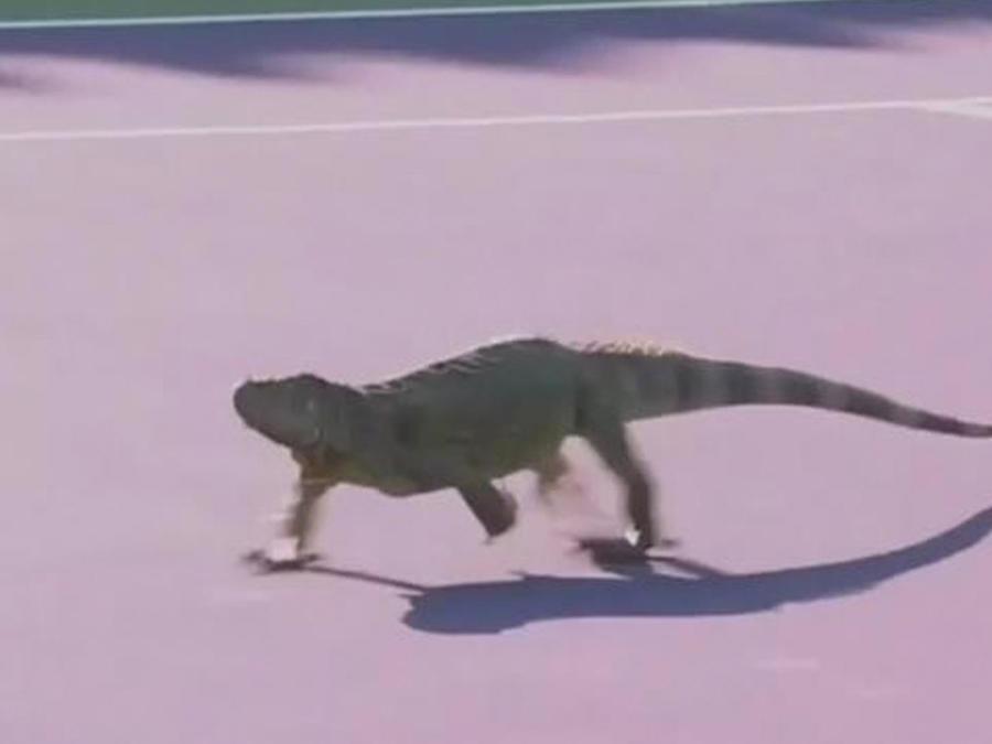 iguana us open