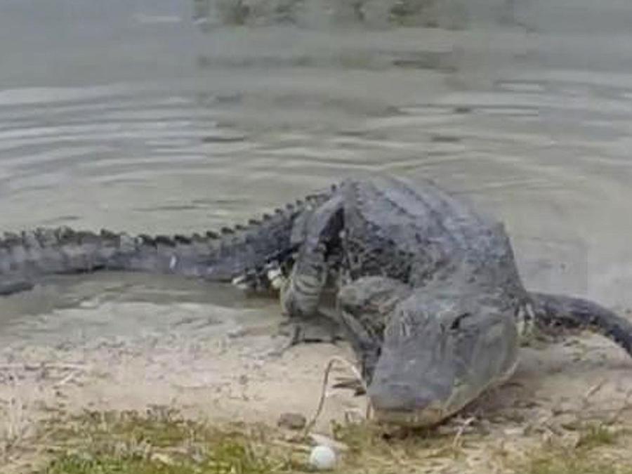 lagarto devora bola de golf