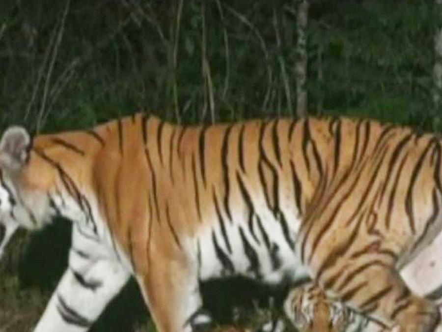descubren especie de tigres