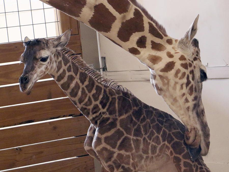 La jirafa April por fin da a luz en Nueva York