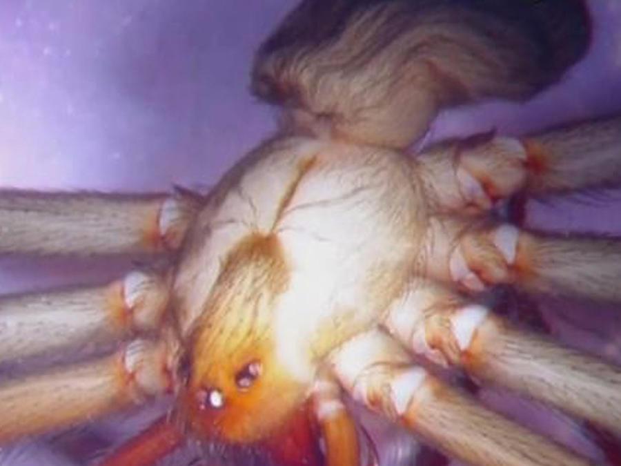 araña peligrosa