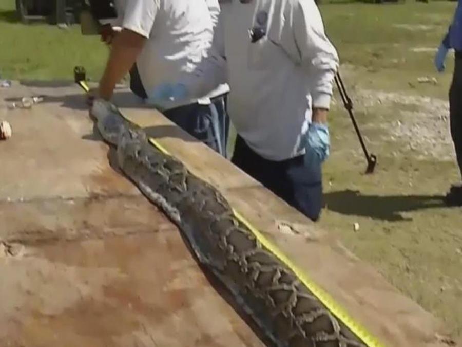 piton gigante