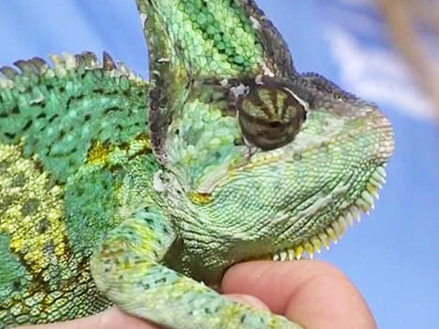 camaleon rescatado