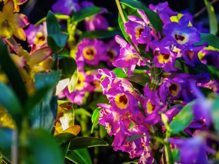 Nueva York festeja de llegada de la primavera con una exposición de orquídeas