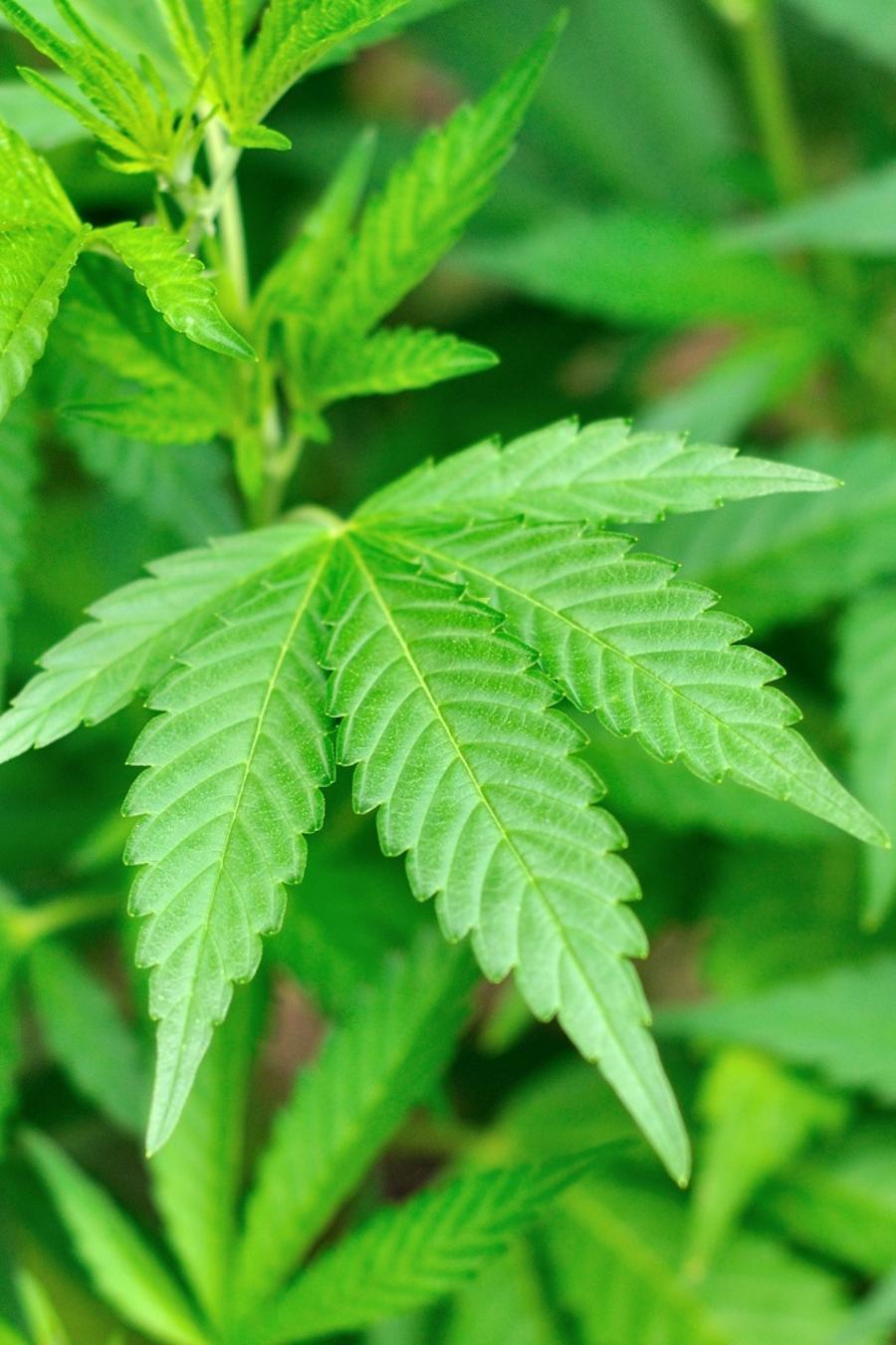 Montón de hojas de marihuana de color verde