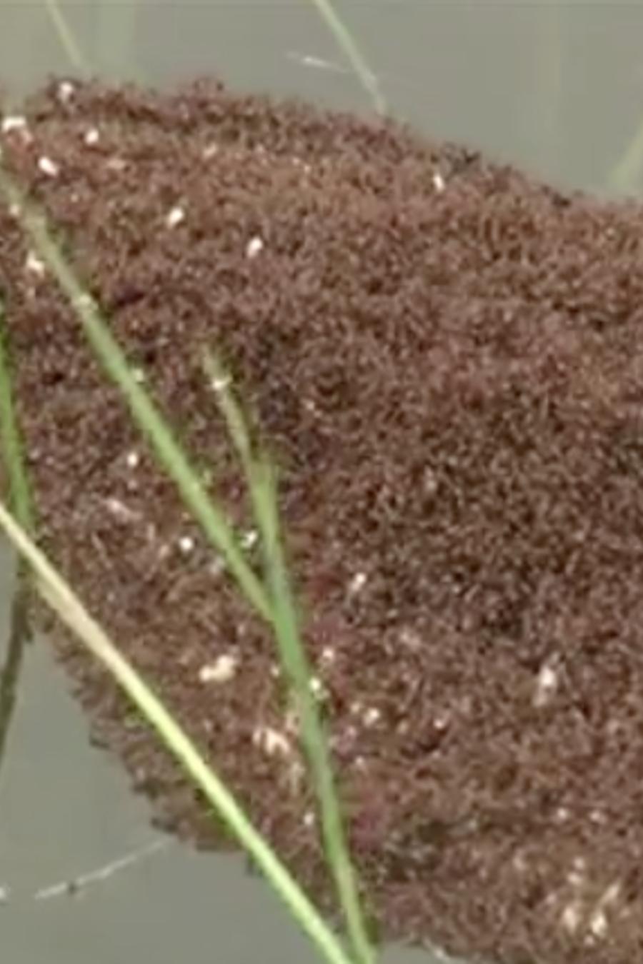 Una masa de hormigas rojas flotando, en una imagen de archivo.