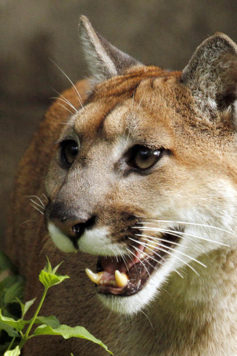 Un jaguar en cautiverio en una foto de archivo.