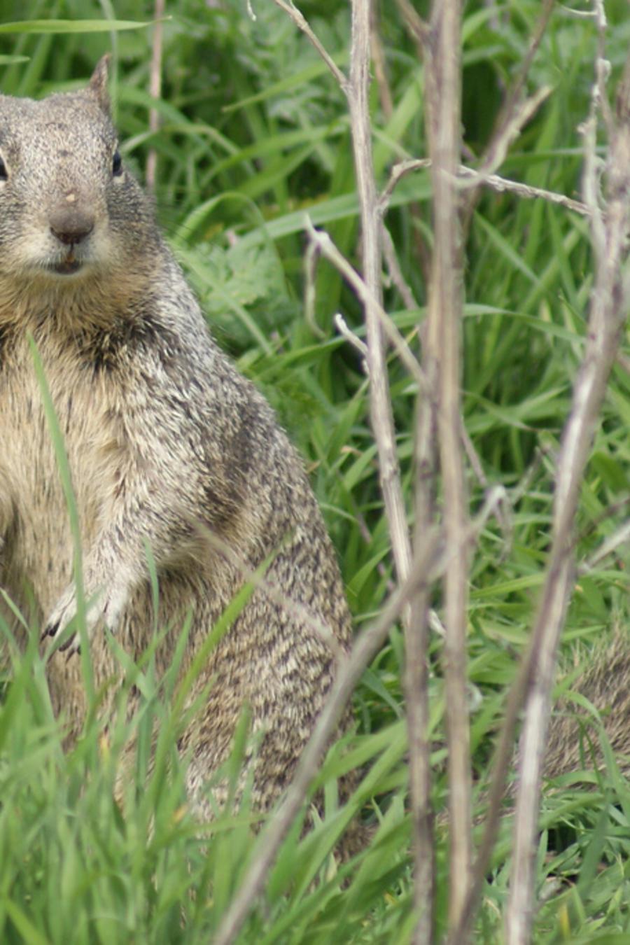 Según el Departamento de Salud, durante el 2015 y el 2016 la enfermedad fue descubierta en ardillas de tierra en el condado Elmore y en el de Ada.