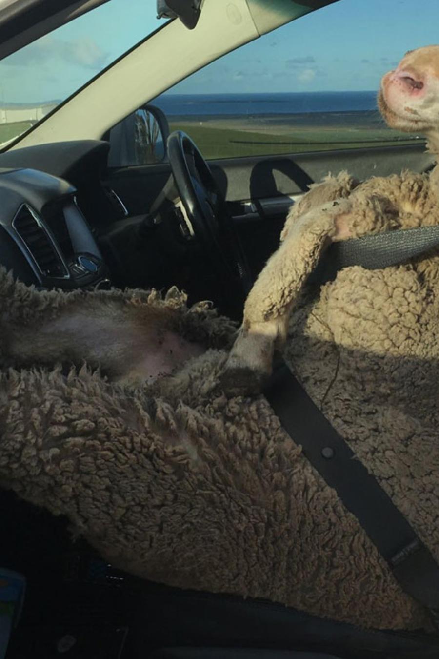 mark modra sheep