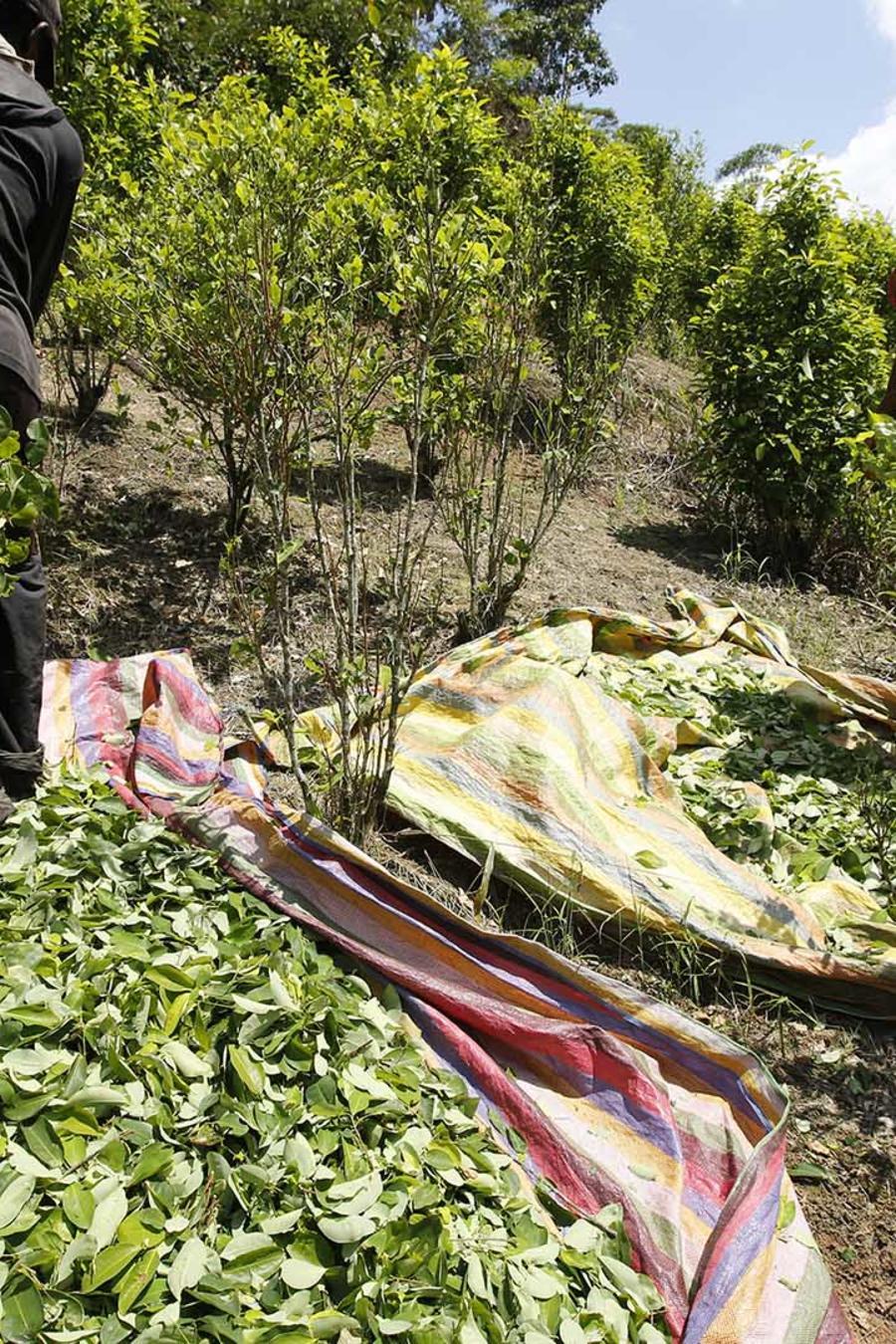 Foto de archivo de personas cosechando la hoja de coca en Colombia