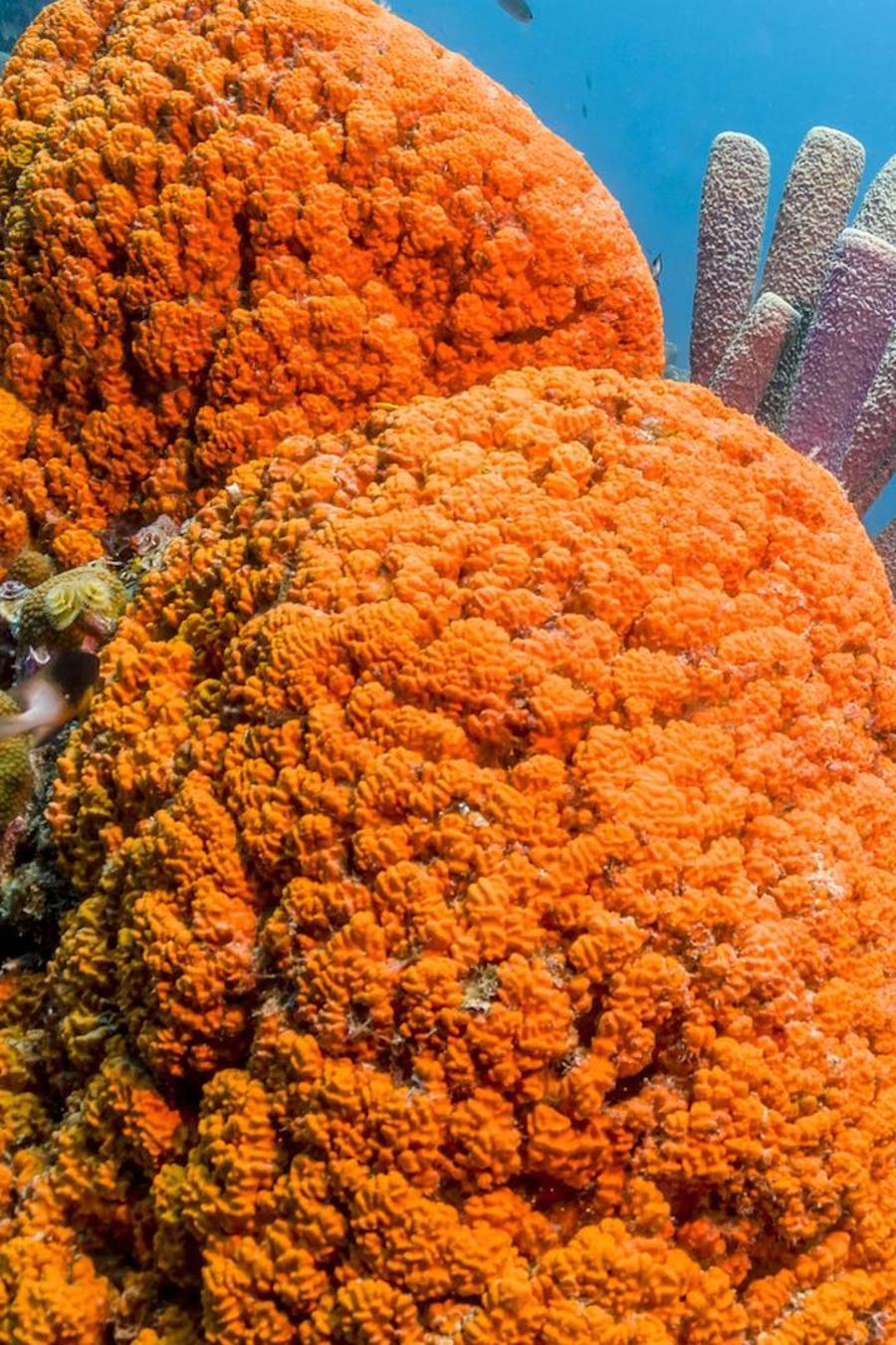 Esponja de mar naranja