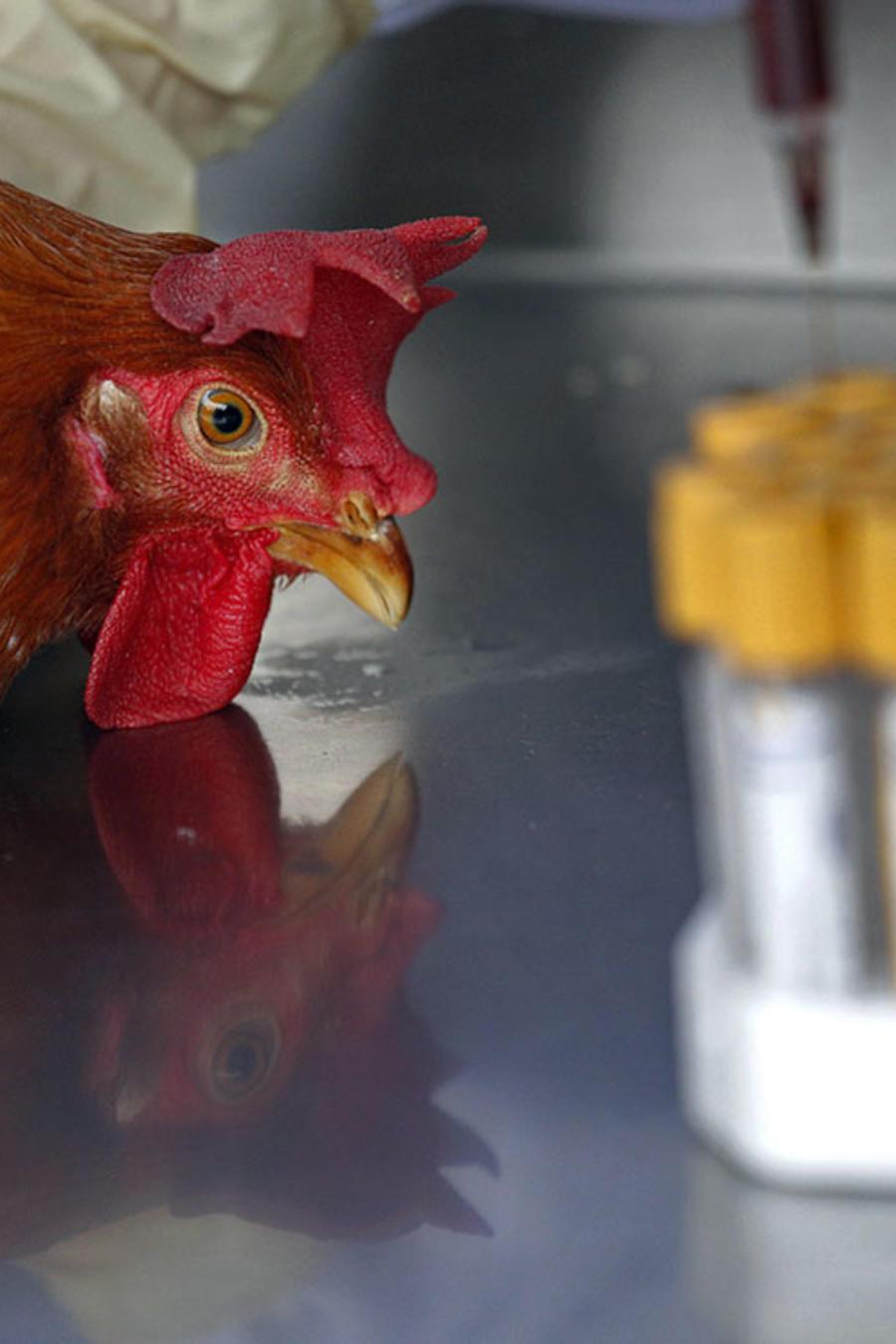 Trabajadores de un laboratorio examinan a una gallina.