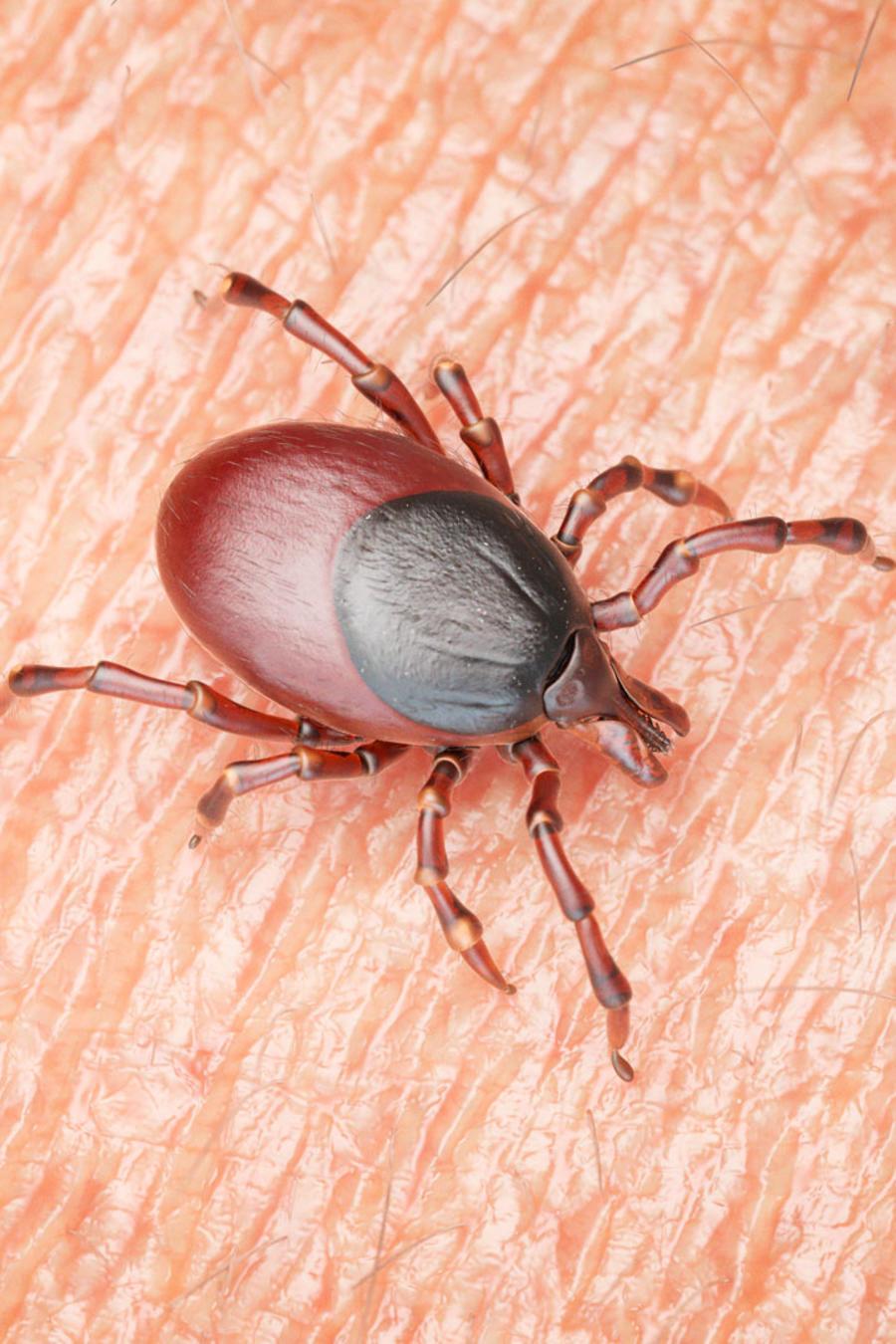 Garrapata que causa la enfermedad de Lyme