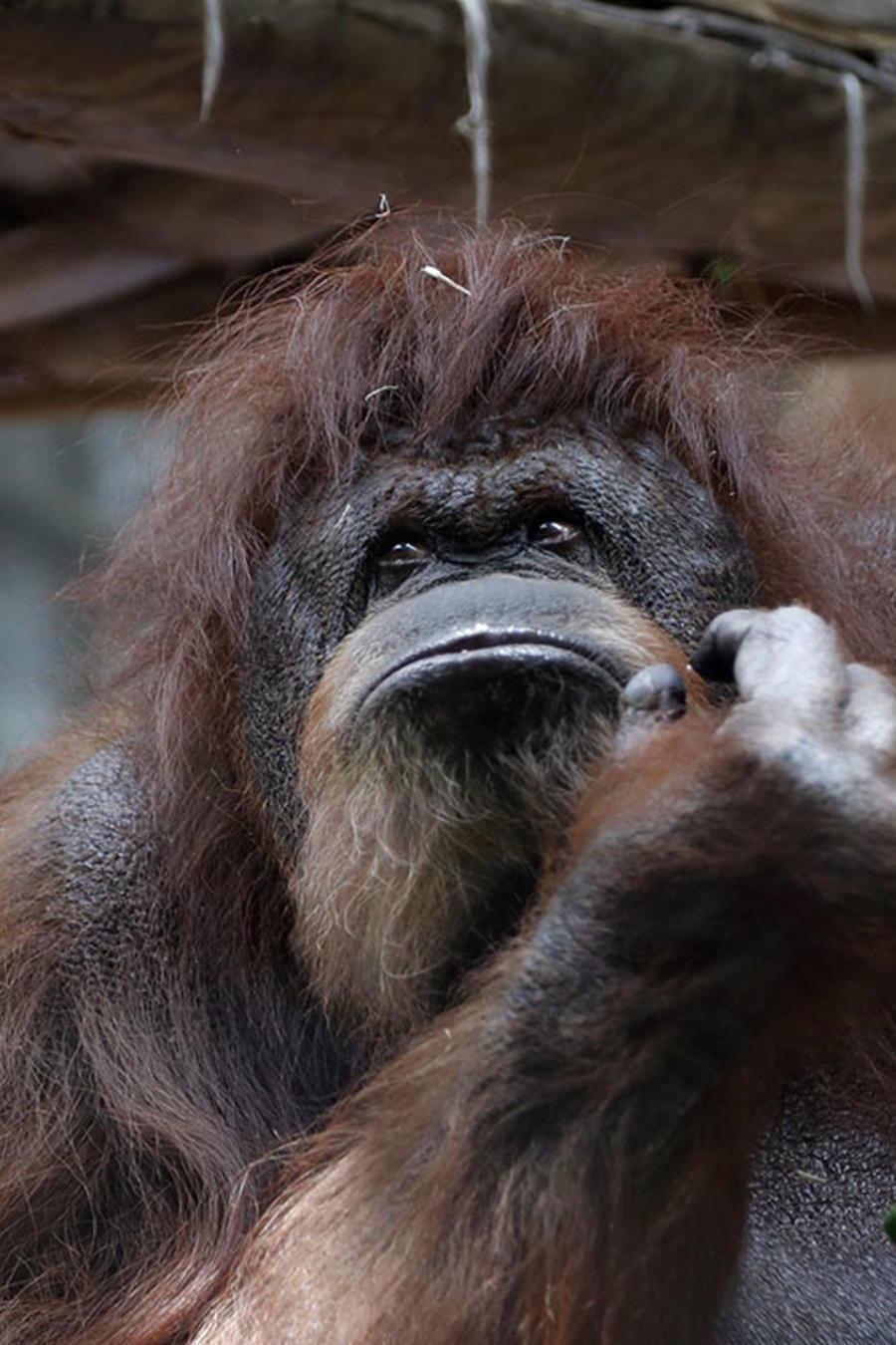 La orangutana Nenette celebró su cumpleaños número 50 conuna tarta de fresa.