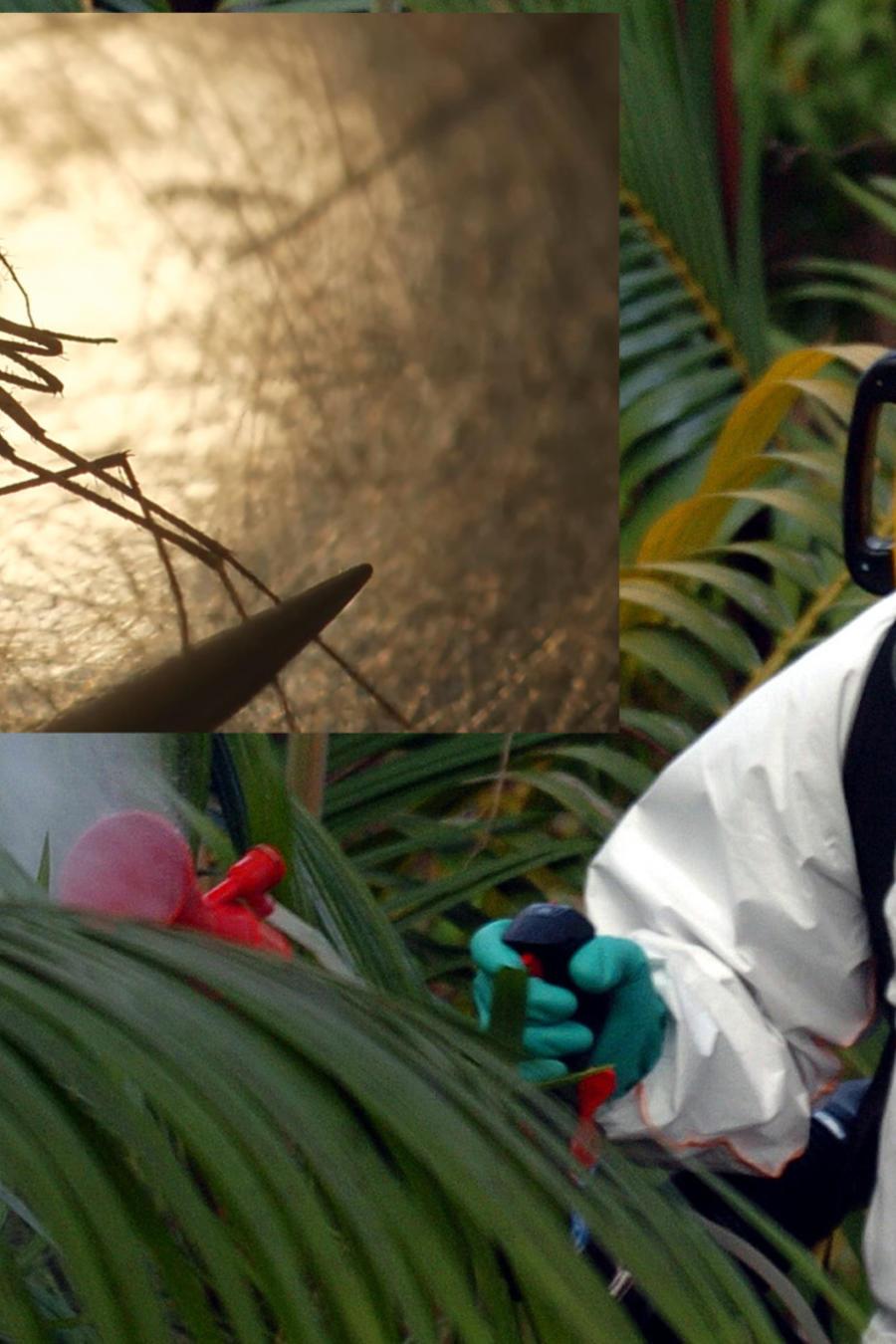 Un trabajador erradica mosquitos en la isla de Reunión. A la derecha, un mosquito, en imágenes ambas de archivo.