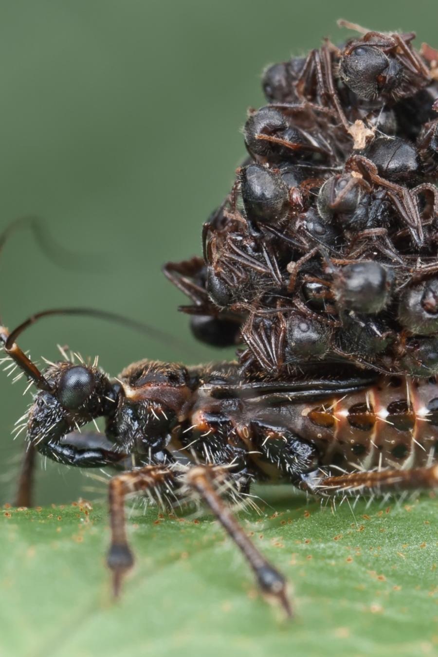 Insecto asesino