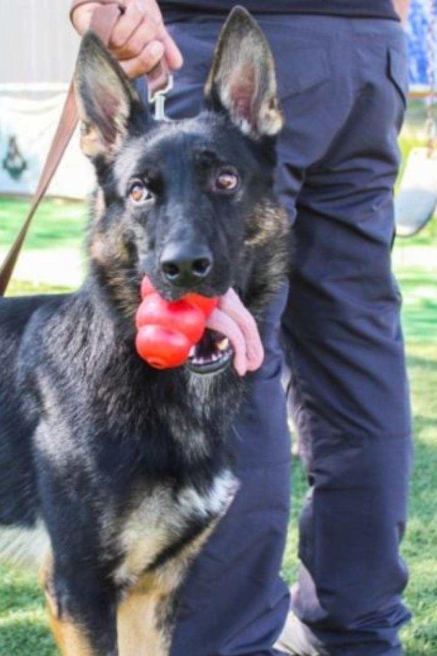 Perros detectan COVID-19