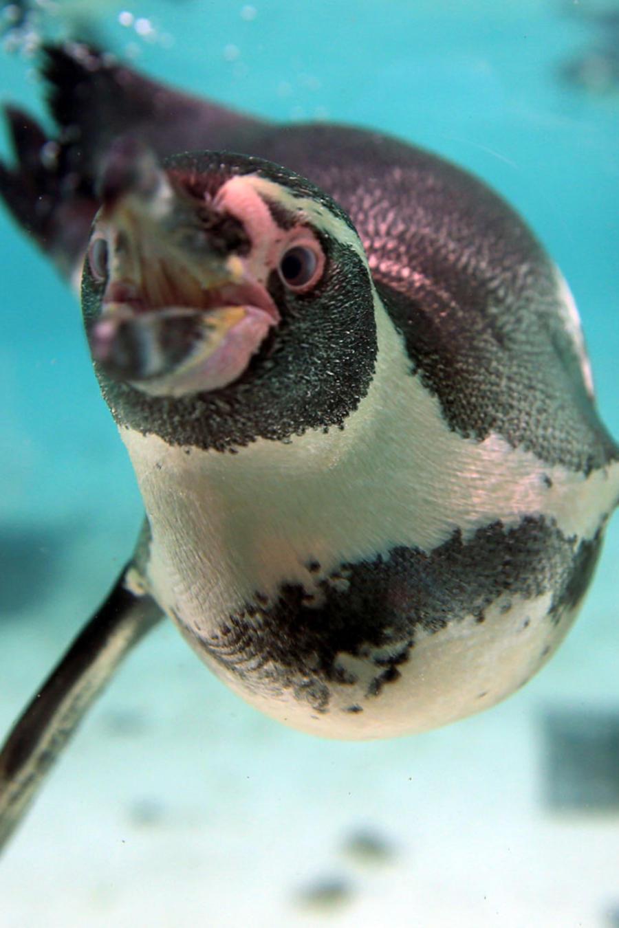 pinguino nadando