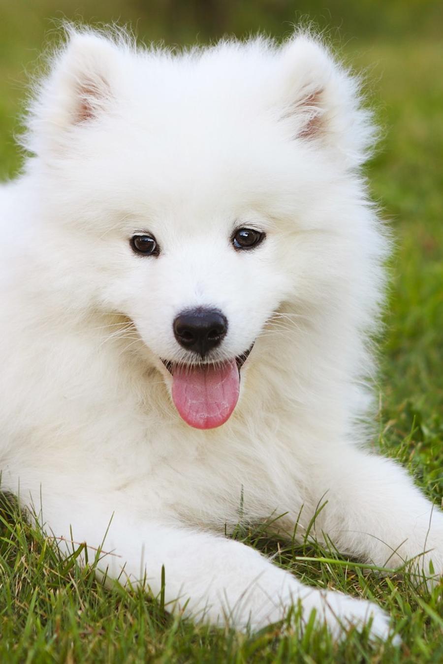 Perros de raza samoyedo sobre el césped