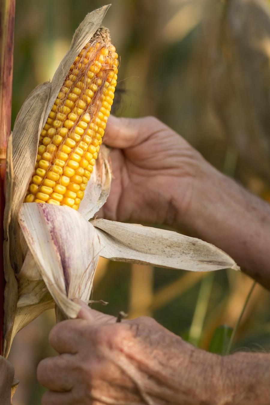 Hombre en cosecha de maíz