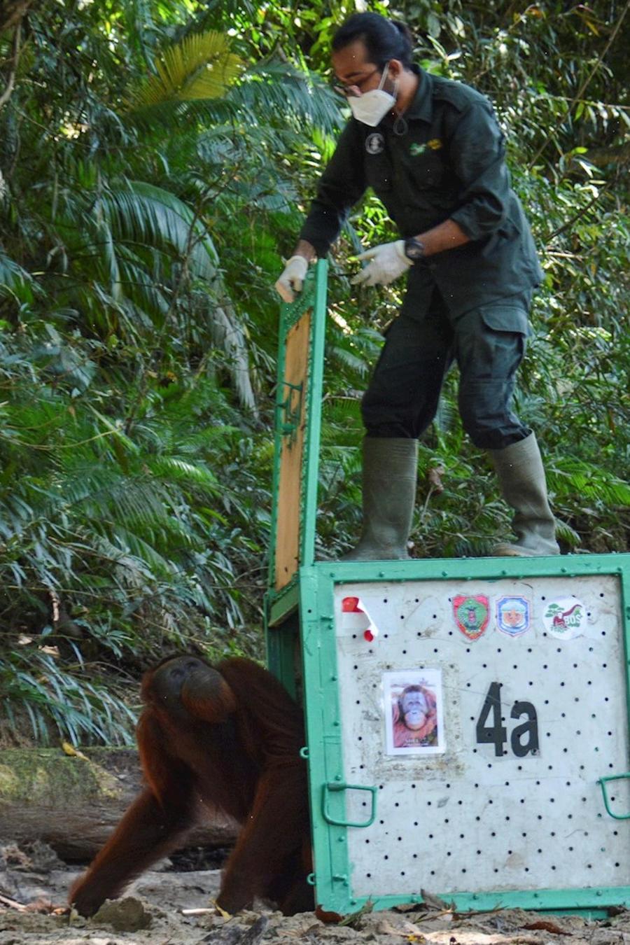 Liberan a una decena de orangutanes en Indonesia