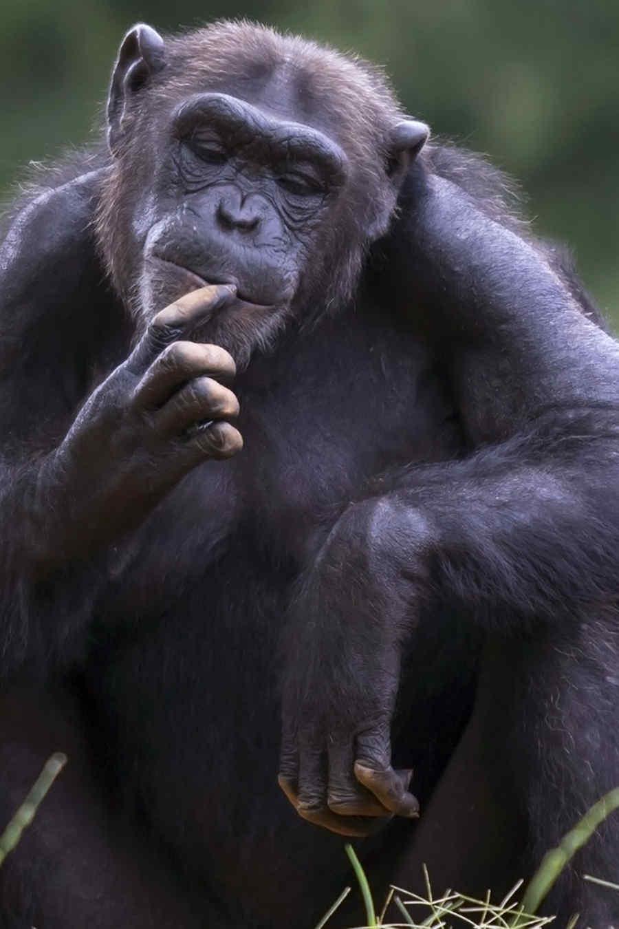 Chimpancé con su cría