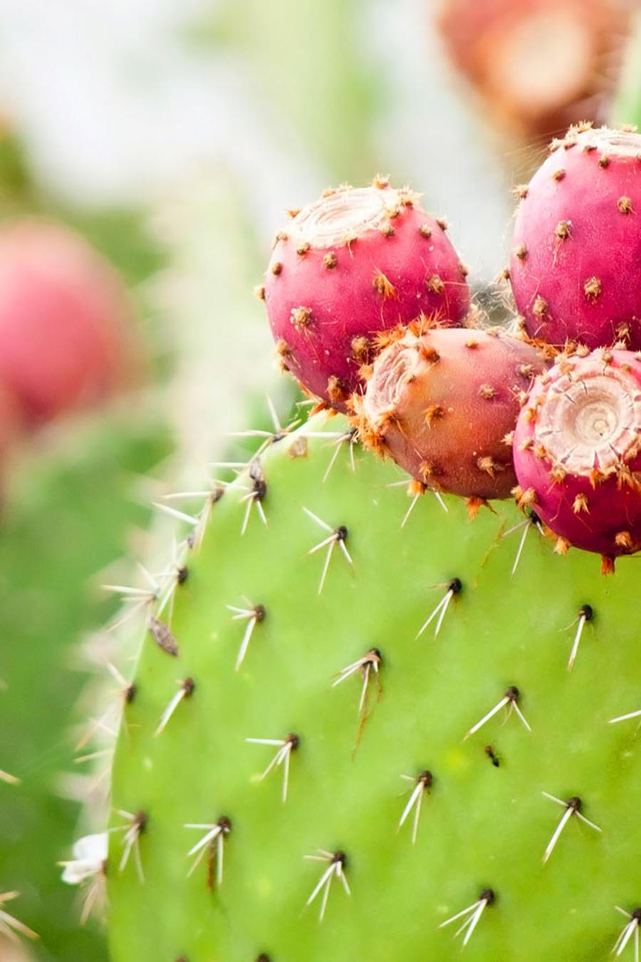 Cactus verde y rojo