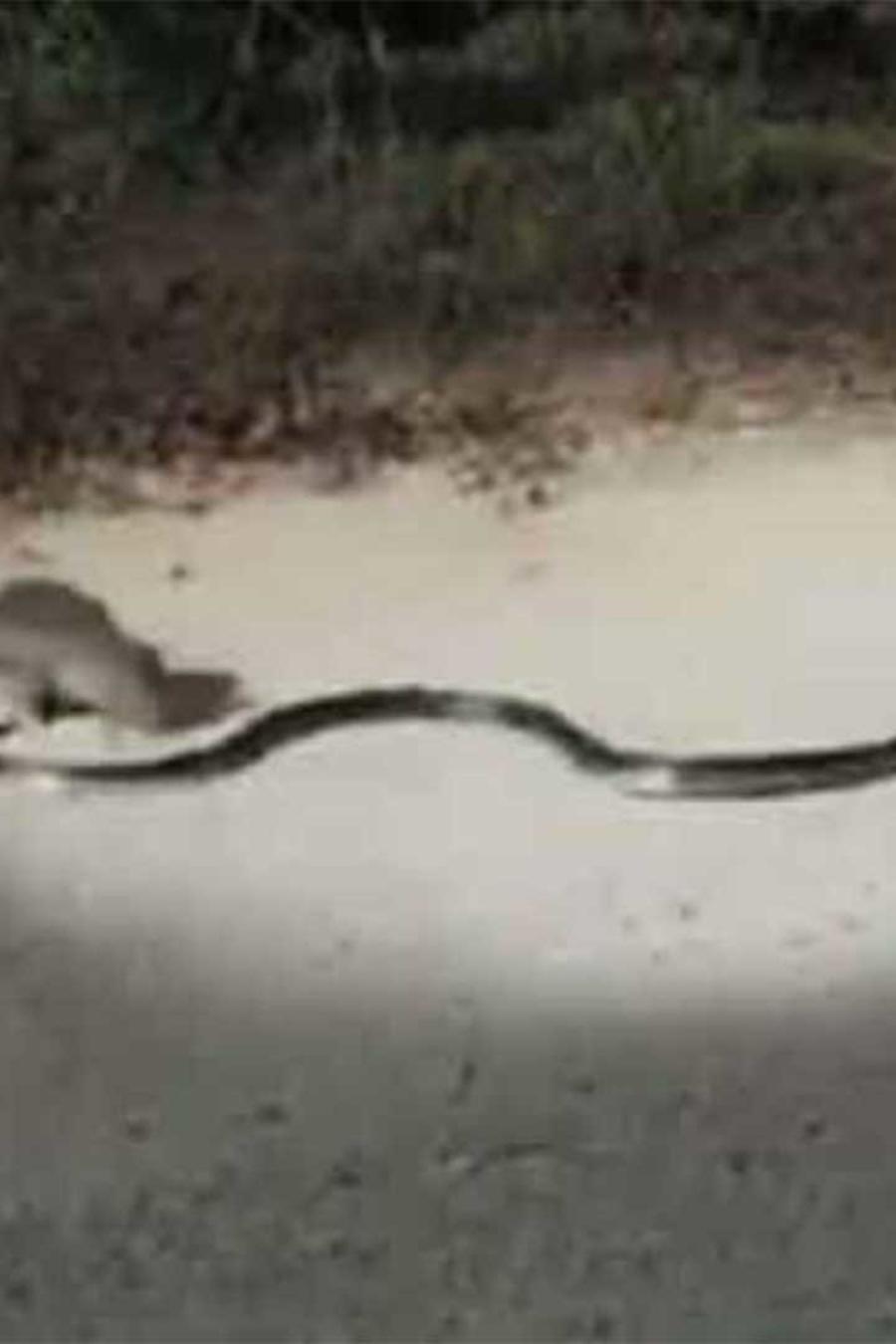 serpiente y rata