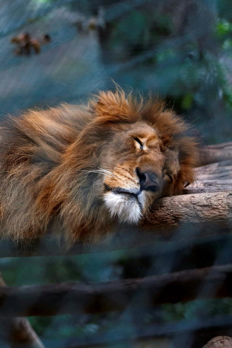 León durmiendo en zoológico de Venezuela