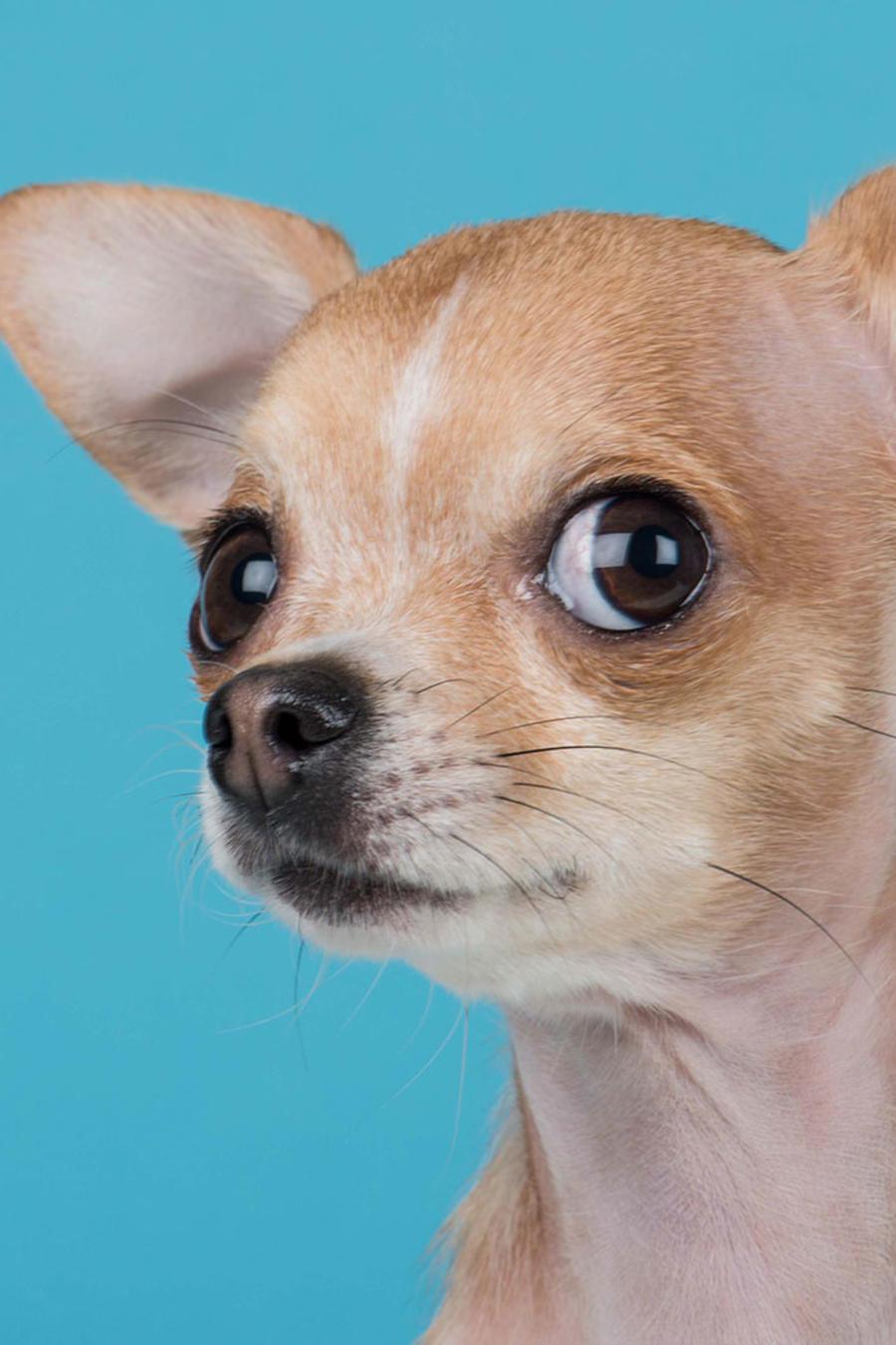 Perro chihuahua frente a un fondo azul