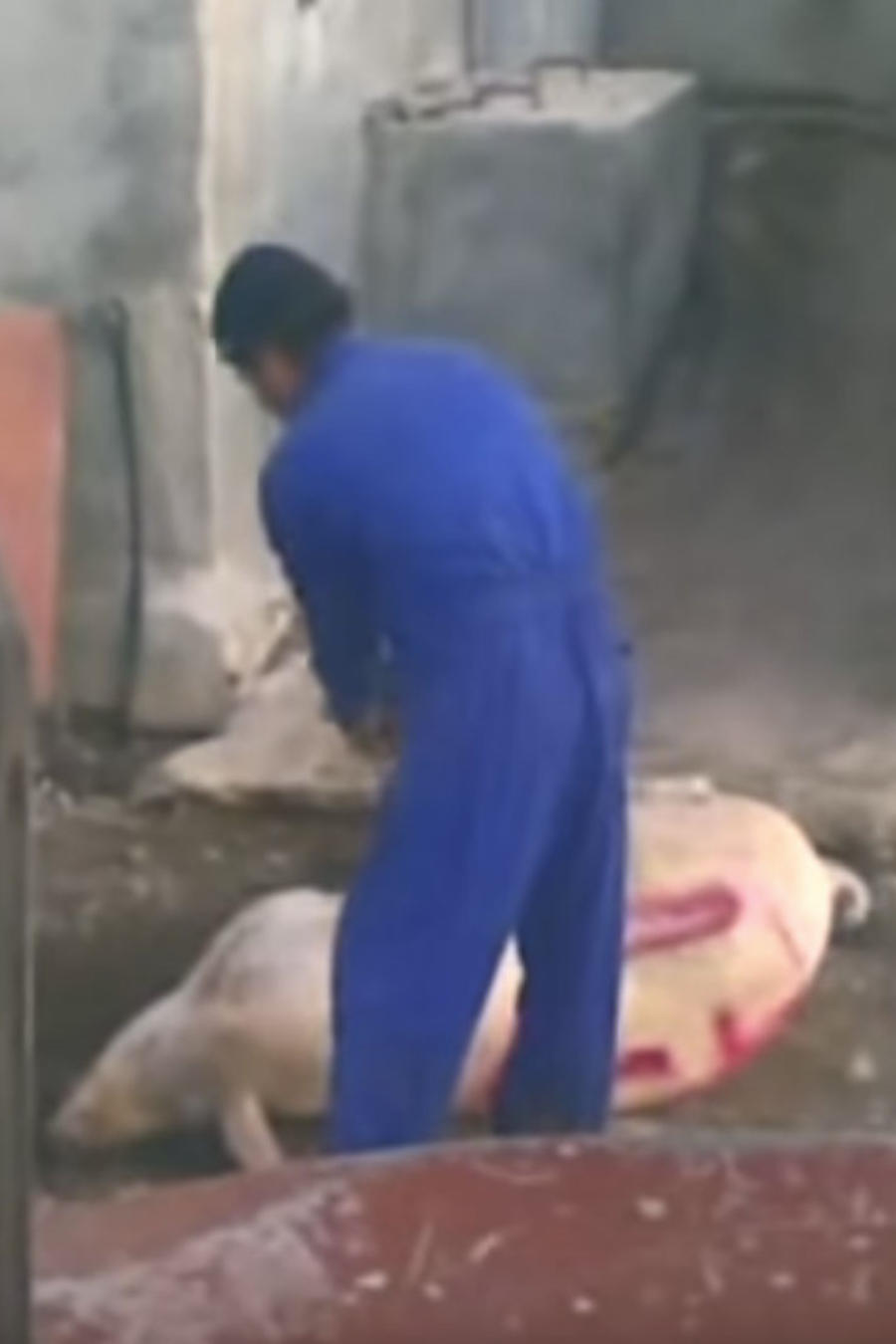 Video de cerdos maltratos en España