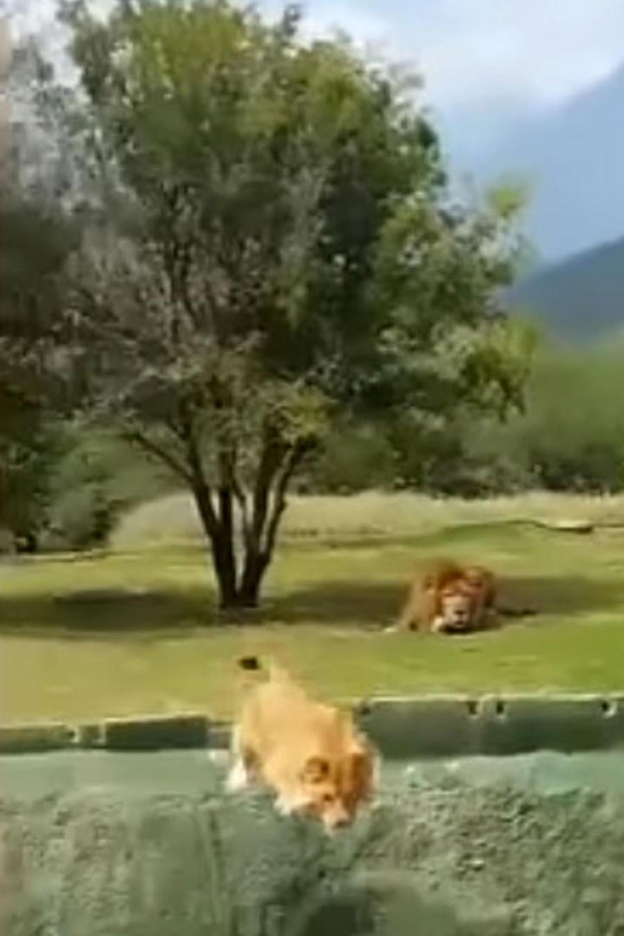 Leona saltando