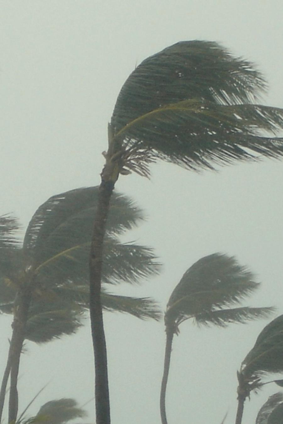 Palmeras volándose durante un huracán