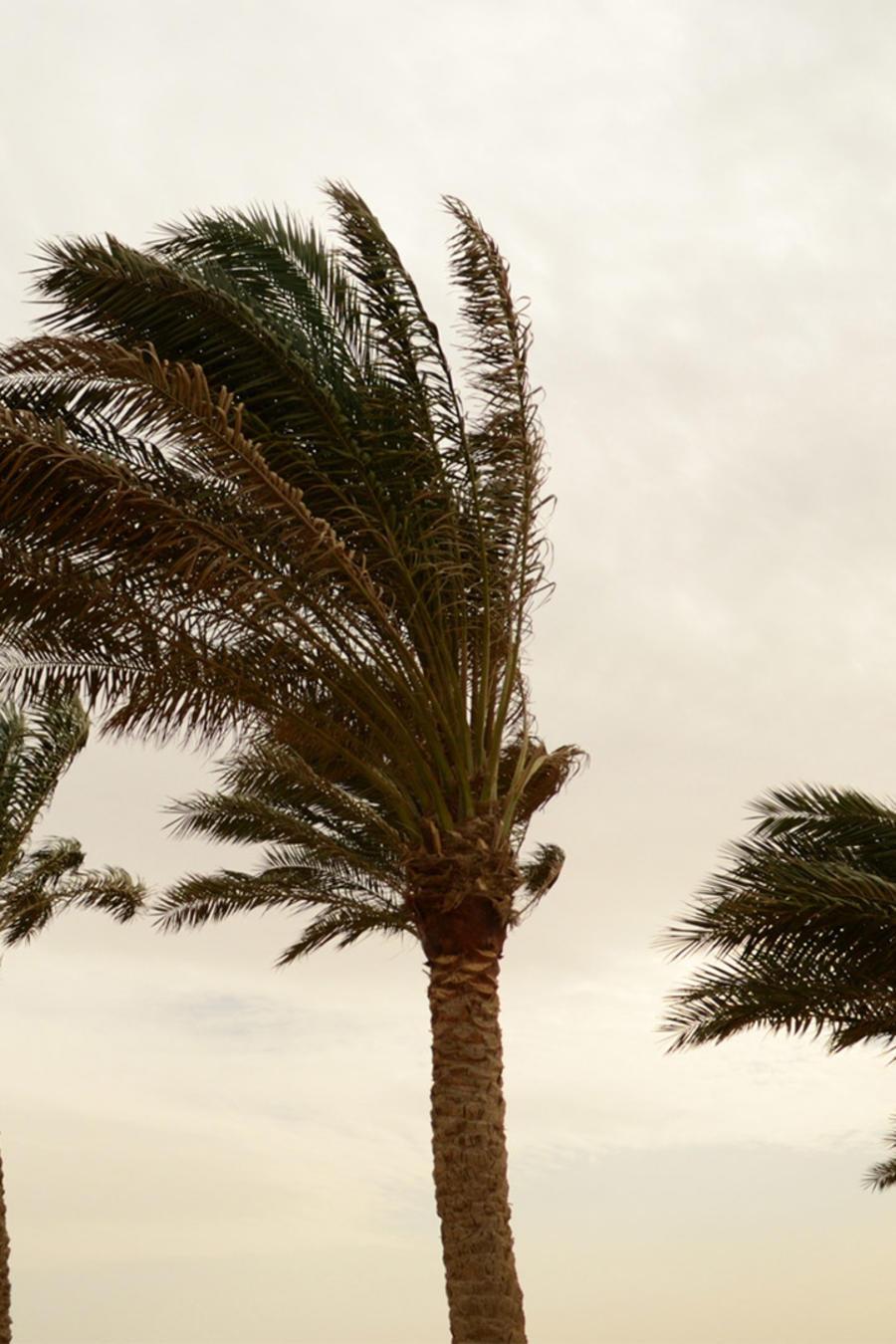 Palmeras durante huracán