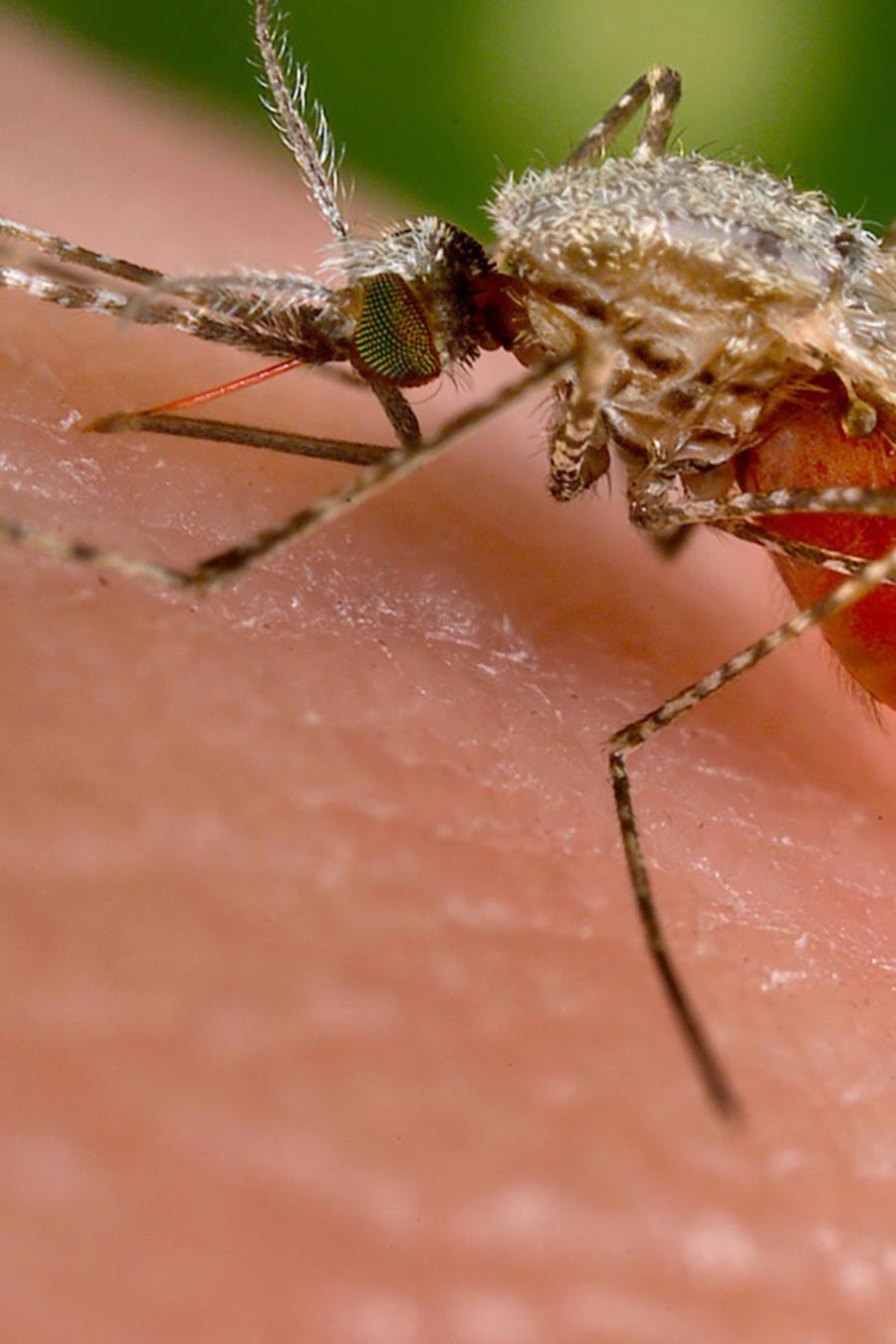 zika and mosquito