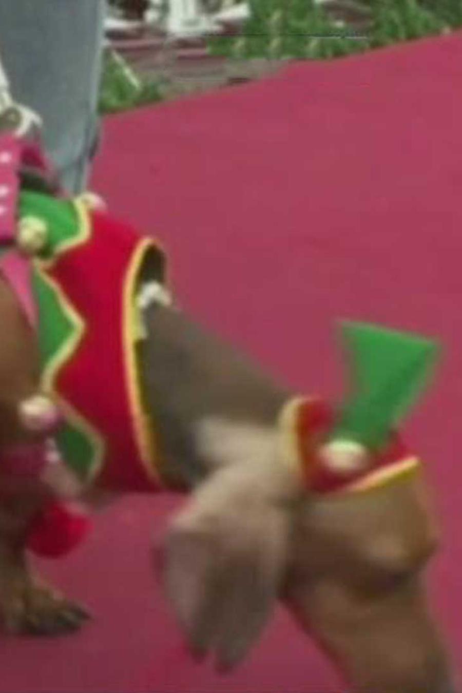 desfile de perros navidenos se lucen en lima, peru