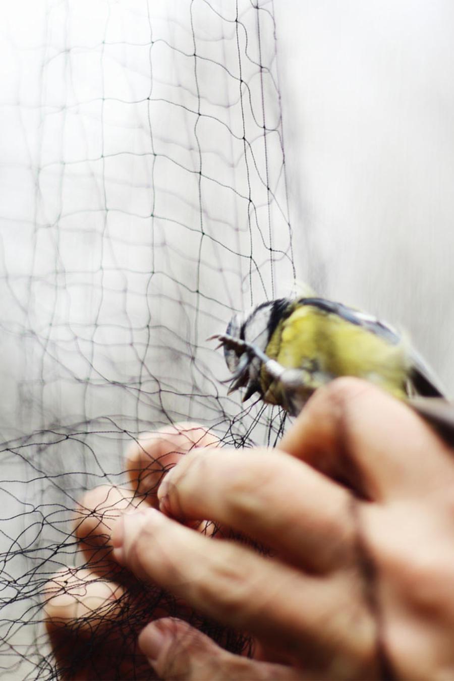 traficante de aves