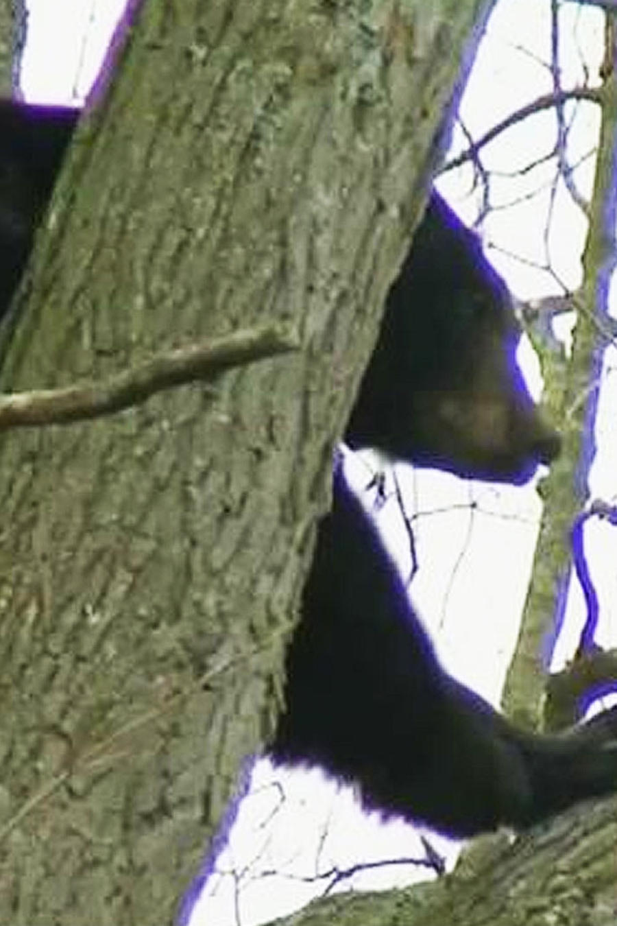 rescatan oso negro de arbol