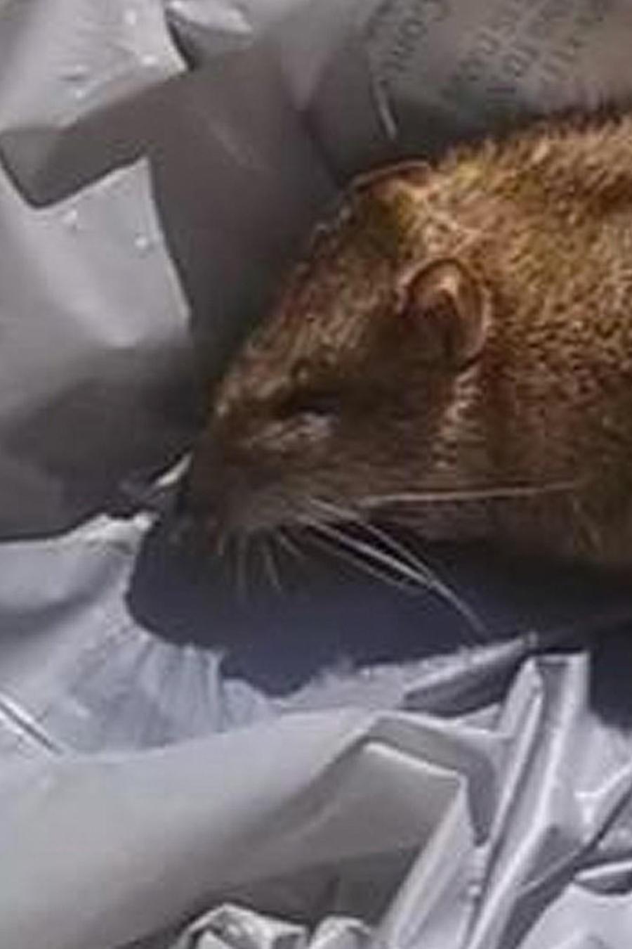 ratas en escuelas