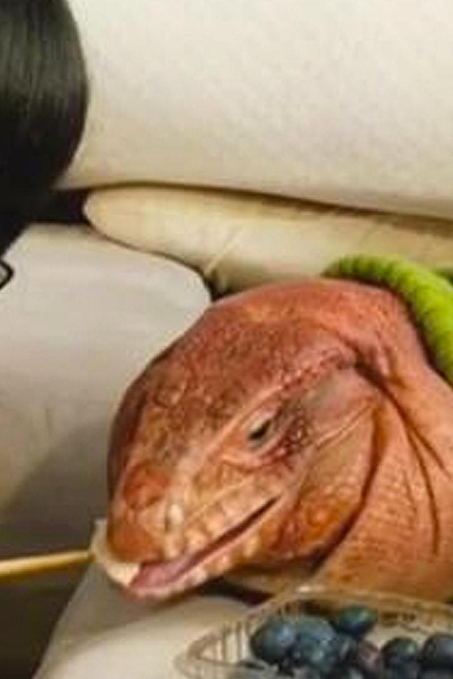 iguana roja es famosa