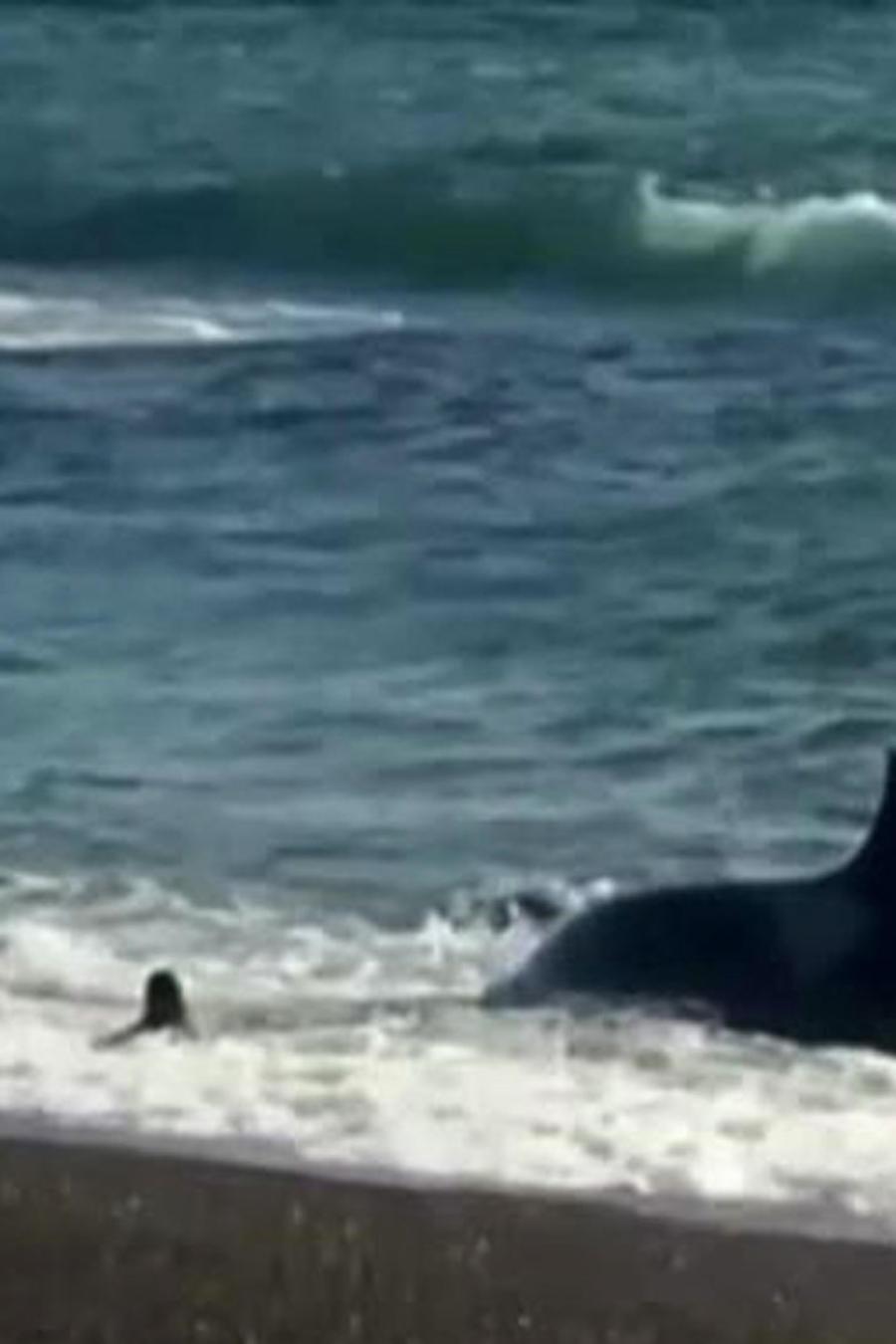 ballenas atacan lobos marinos