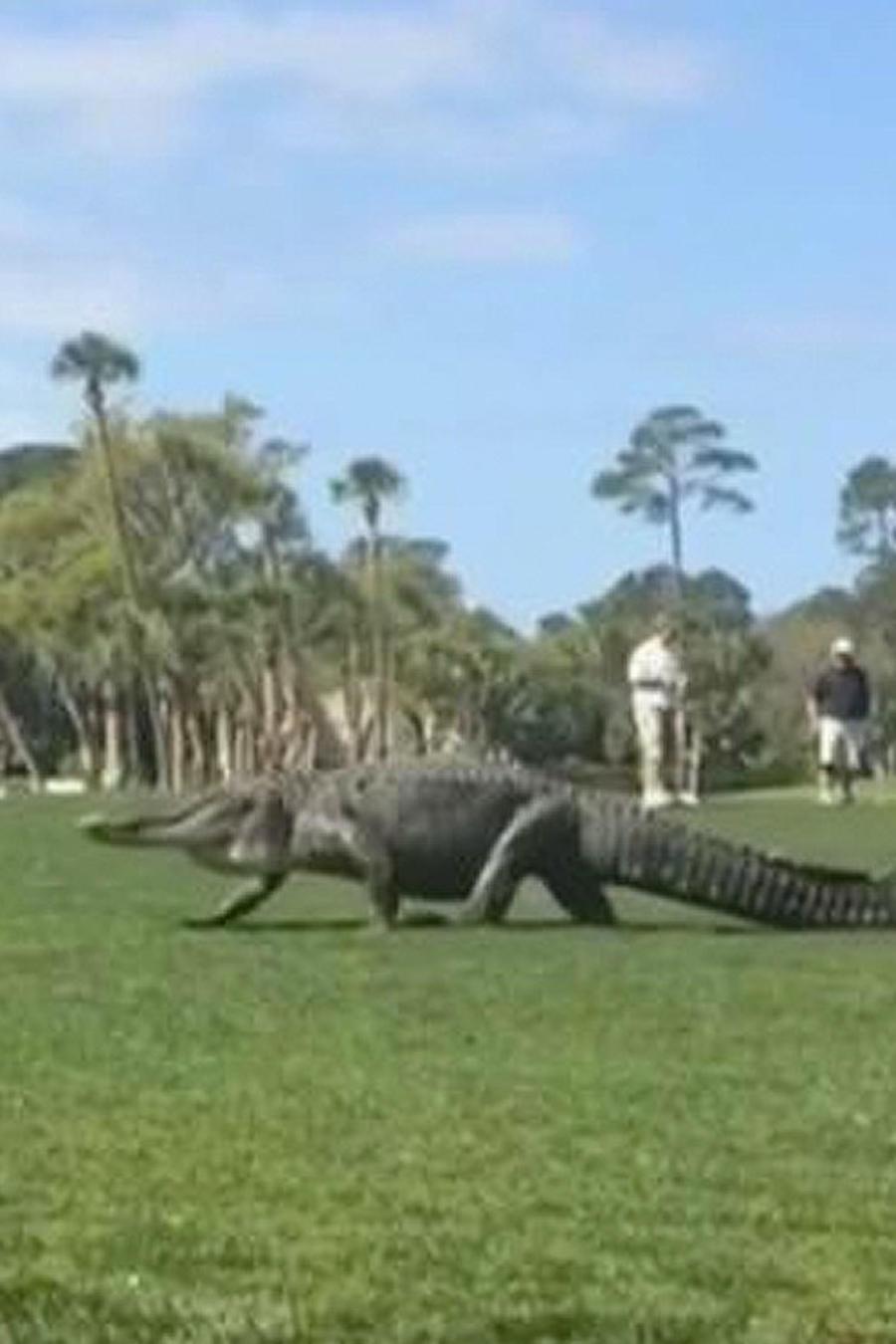 cocodrilo en campo de golf