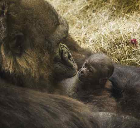 Nacimiento de gorila en Bush Gardens