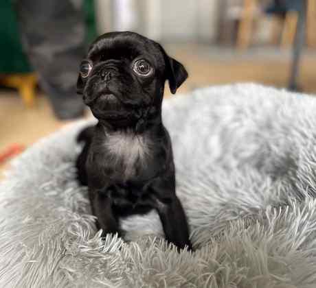 Los perros como los bóxers, los bulldogs y los pugs tienen sus ojos estructurados de forma diferente a los de otros perros.