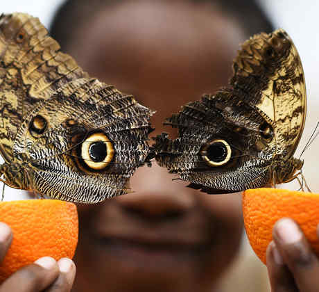 mariposas buho
