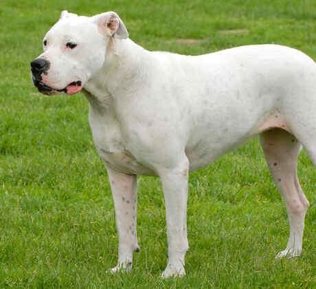 Dogo Argentino Perro